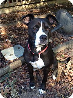 American Bulldog/Labrador Retriever Mix Dog for adoption in Savannah, Tennessee - Missy