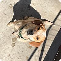 Adopt A Pet :: Luna Rose - Remus, MI