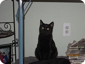 Domestic Shorthair Cat for adoption in Warren, Michigan - Lizzie
