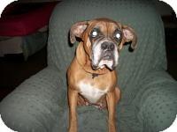 Boxer Dog for adoption in DAYTON, Ohio - Mirage