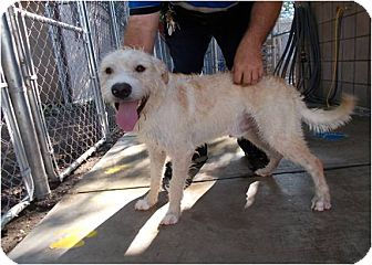 Wheaten Terrier Mix Dog for adoption in Copperas Cove, Texas - Harley