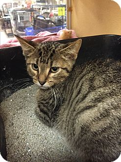 Domestic Shorthair Kitten for adoption in Rochester, Minnesota - Seven