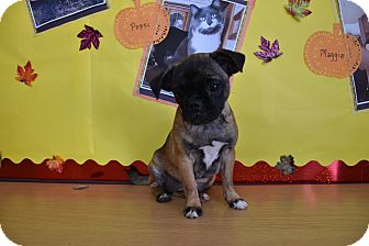 Pug Mix Puppy for adoption in North Judson, Indiana - Sophie