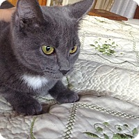 Adopt A Pet :: Blue - Laguna Woods, CA