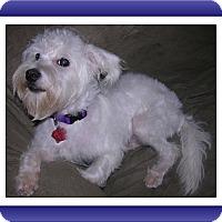 Bichon Frise/Schnauzer (Miniature) Mix Dog for adoption in Tulsa, Oklahoma - Adopted!!Panda - IL