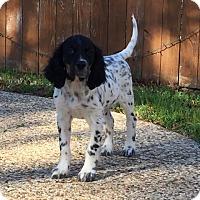 Adopt A Pet :: Bart - Denton, TX