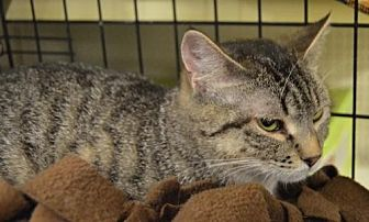 Domestic Shorthair Kitten for adoption in Logan, Utah - Gia
