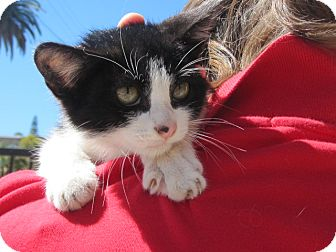 Domestic Shorthair Kitten for adoption in Los Angeles, California - Crumbles