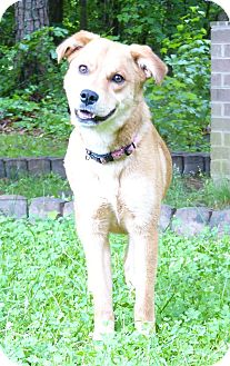 Australian Shepherd/Golden Retriever Mix Dog for adoption in Mocksville, North Carolina - Dixie