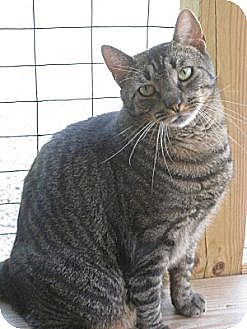 Domestic Shorthair Cat for adoption in Bloomsburg, Pennsylvania - Victor