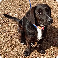 Adopt A Pet :: Keebler - Courtesy Posting - New Canaan, CT