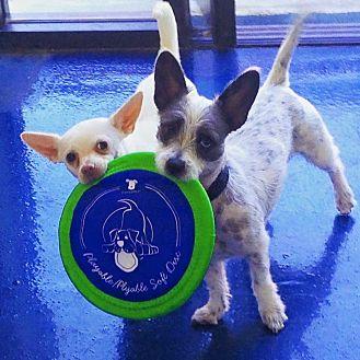 Dachshund/Chihuahua Mix Dog for adoption in Orange, California - Paul