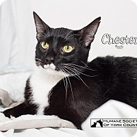Adopt A Pet :: Chester 5570 - Fort Mill, SC
