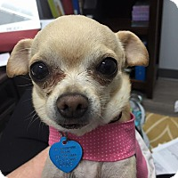 Adopt A Pet :: Bambi - AUSTIN, TX