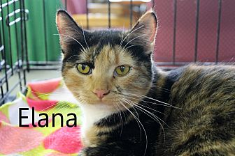 Calico Cat for adoption in Wichita Falls, Texas - Elana