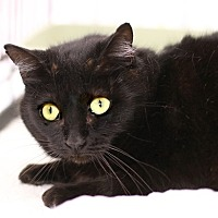 Domestic Shorthair Cat for adoption in Westchester, California - Petunia