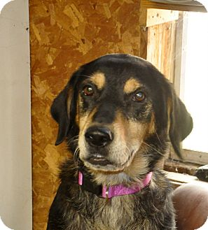 Rottweiler/Labrador Retriever Mix Dog for adoption in Sedan, Kansas - Roxy