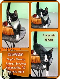 Domestic Shorthair Kitten for adoption in Kenansville, North Carolina - TUXEDO FEMALE
