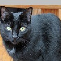 Domestic Shorthair Cat for adoption in Pittsboro, North Carolina - Lily