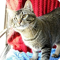 Domestic Shorthair Cat for adoption in Midland, Texas - Manu