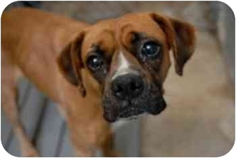 Boxer Mix Dog for adoption in Thomasville, Georgia - Suki
