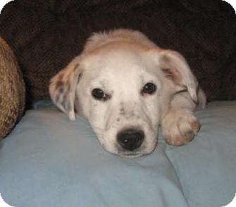Australian Cattle Dog/Border Collie Mix Puppy for adoption in Golden Valley, Arizona - Reggie