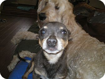 Chihuahua/American Hairless Terrier Mix Dog for adoption in Apex, North Carolina - Godfrey