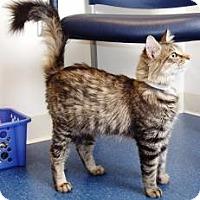 Adopt A Pet :: Felicity - Arlington, VA