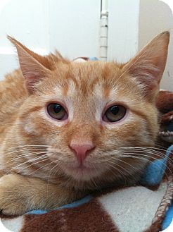 Domestic Shorthair Cat for adoption in Mount Laurel, New Jersey - Moon