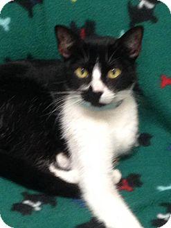 Domestic Shorthair Kitten for adoption in St. Francisville, Louisiana - Caroline