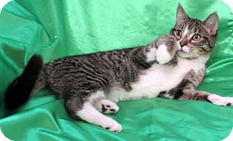 Domestic Shorthair Cat for adoption in St. Louis, Missouri - Phelix