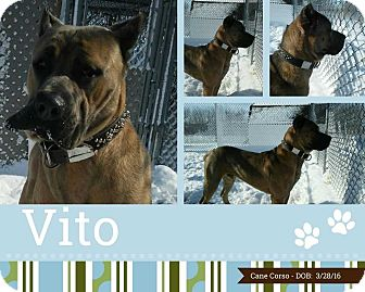Cane Corso Mix Dog for adoption in Clear Lake, Iowa - Vito