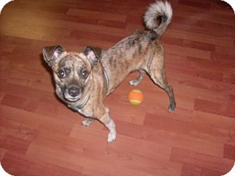 Border Terrier/Pug Mix Dog for adoption in Litchfield Park, Arizona - Louie - Only $25 adoption fee!