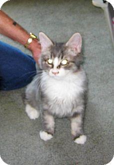 Domestic Longhair Kitten for adoption in Kirkwood, Delaware - Beau