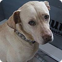 Adopt A Pet :: Shayna - Marlton, NJ