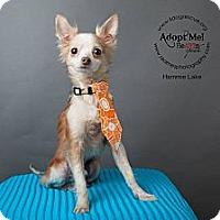 Adopt A Pet :: Hammie Lake - Shawnee Mission, KS