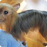 Adopt A Pet :: Brownie - Crestwood, KY