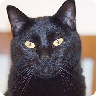 Domestic Shorthair Cat for adoption in Long Beach, New York - Benjamin