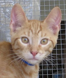 Domestic Shorthair Cat for adoption in Gonzales, Texas - Pelham