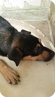 Labrador Retriever/German Shepherd Dog Mix Dog for adoption in Darlington, South Carolina - Heaven