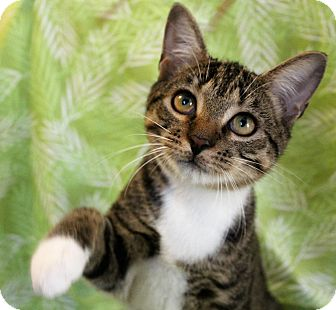 Domestic Shorthair Cat for adoption in Greensboro, North Carolina - Tucker