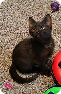 Domestic Shorthair Kitten for adoption in Highland, Indiana - NICK