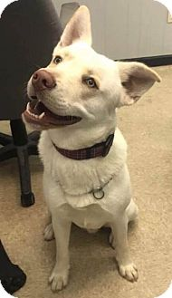 Siberian Husky/Labrador Retriever Mix Dog for adoption in Savannah, Georgia - Tarzan