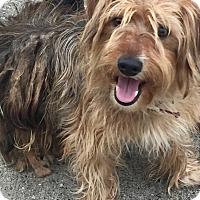Adopt A Pet :: Shaggy - McKinney, TX