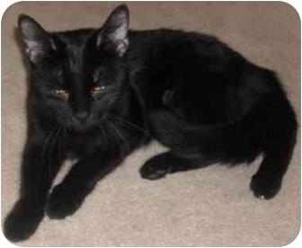 Domestic Shorthair Cat for adoption in Mesa, Arizona - Gabby