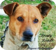 Australian Cattle Dog/Blue Heeler Mix Dog for adoption in Snohomish, Washington - Brody Shy Country Boy!