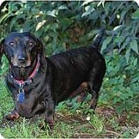 Adopt A Pet :: Gus - San Jose, CA