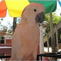 Adopt A Pet :: Oz - Melbourne Beach, FL