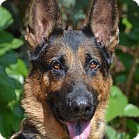 Adopt A Pet :: Tank - Altadena, CA