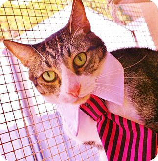 Domestic Shorthair Cat for adoption in Mission Viejo, California - Nickel